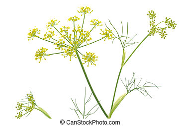 Fennel flowers with needle like leaves on a white background