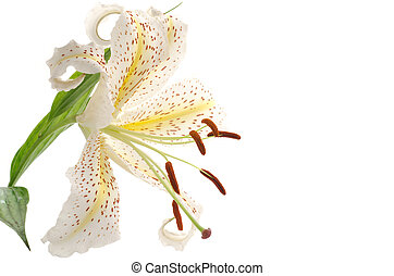 One golden rayed lily - Close up of one golden rayed lily on...