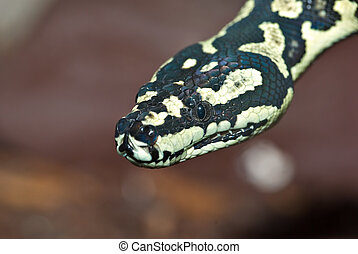 python - a nice yellow and black carpet python looks at the...