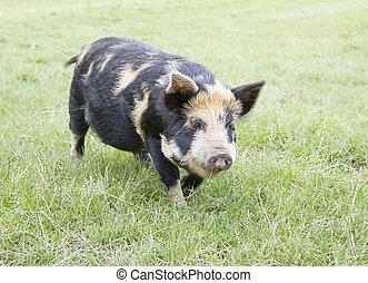 Rare breed Kunekune piglet in field Sus scrofa scrofa...