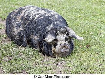 Sleeping rare breed Kunekune pig Sus scrofa scrofa kunekune...