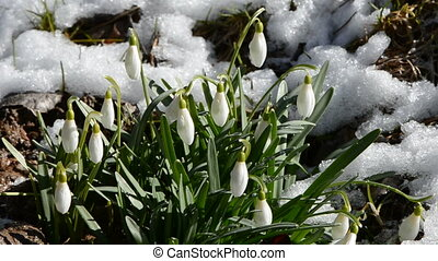 spring snowdrops with snow and wind