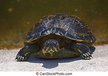 turtle emerges from the water