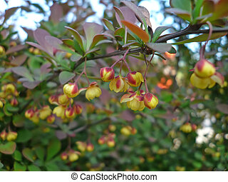 berberis thunbergii leaves in a garden, north china