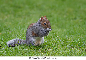 Squirrel - Grey Squirrel eating on a lawn of green grass.