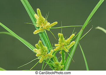 weeds - a kind of weeds named cyperaceae
