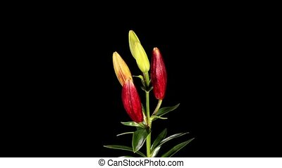Blooming burgundy lily on the black background (L. purple...