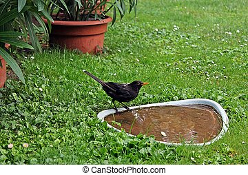 blackbird at bird bath - male blackbird (Turdus merula)...
