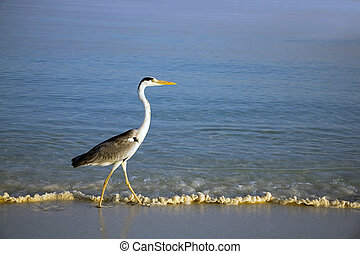 Heron wading in the ocean by the beach