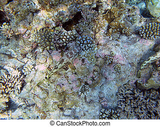 Four-Saddle Grouper fish are often found singly on shallow...
