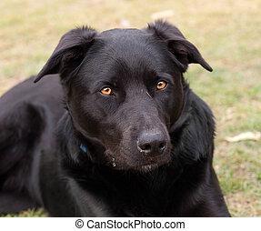 Australian working dog black kelpie pure breed - Australian...