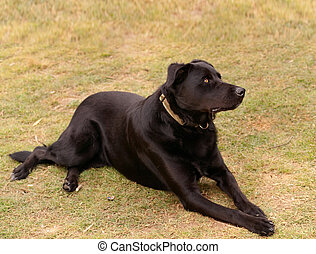Australian working dog black kelpie pure breed - Australian...