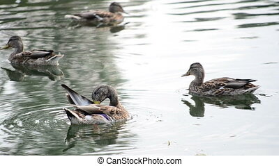 Wild ducks in a lake. Close view