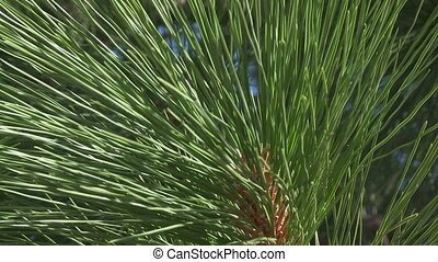 Ponderosa Pine needles - Close up shot of Ponderosa Pine...