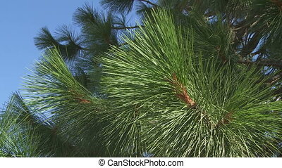 Ponderosa Pine branches - Medium shot of Ponderosa Pine...