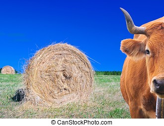 Cow grazing. -  Cow grazing with a grass bales on the field.