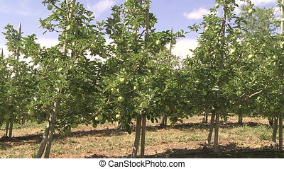 Apple Orchard - Wide shot of young trees in an apple orchard