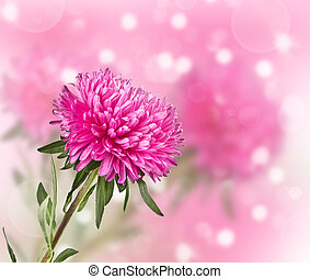 aster flower on a blurred background - pink aster flower on...