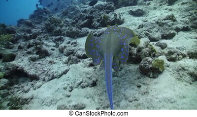 Blue Spotted stingray swims on the coral reef, Red sea