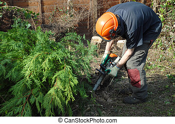 tree cutting - tree worker cutting conifers with a chainsaw