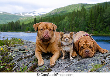 Three dogs at the mountain river bank, Norway - Three dogs...