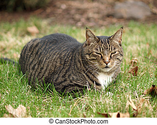 An Adult Tabby Cat Outdoors in a Grassy Yard