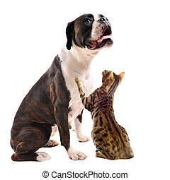 brown bower and bengal cat - purebred brown bower and bengal...