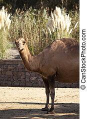 camel - zoo-camel