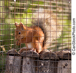 Red squirrel in cage