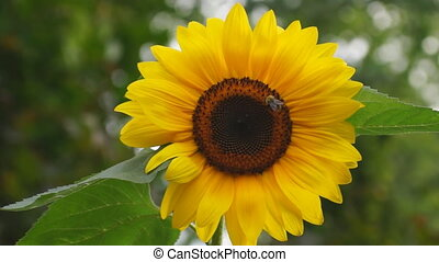 Sunflower with bee in the wind