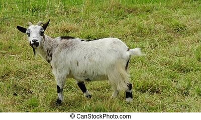 dwarf goat on a pasture
