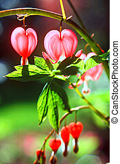Bleeding Heart Flowers - Portait of Bleeding Heart flowers...