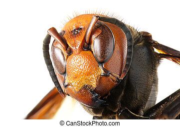 巨人, 日語, 大黃蜂