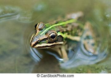 Frosch, Ochsenfrosch, Schlamm, Pfütze, grün,...