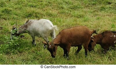 dwarf goats on a pasture