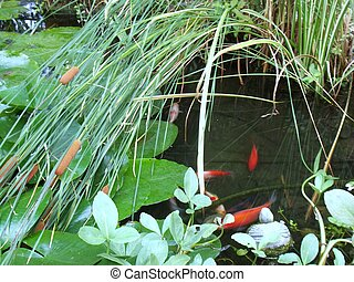 pond with fish - pond with fish and waterplant close -up