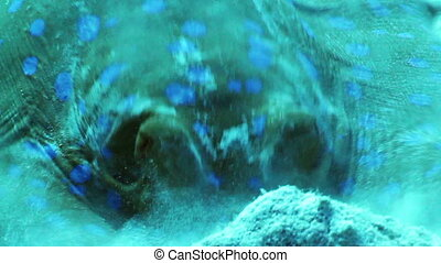 Blue spotted stingray - Bluespotted ribbontail ray, feeding...