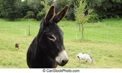 donkey on a pasture with goats