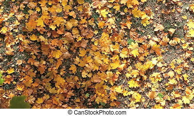 Leaves fall - Above view of autumnal yellow leaves falling...