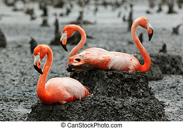 Flamingo Phoenicopterus ruber at nest - Colony of Great...