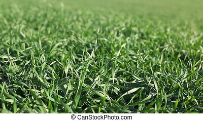 Ecology concept: green grass swaying in the natural...