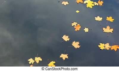 Autumnal river - Yellow maple leaves drifting in the river...