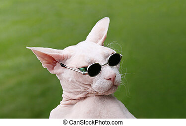 Sphynx Hairless Cat - Funny Sphynx Hairless Cat playful with...