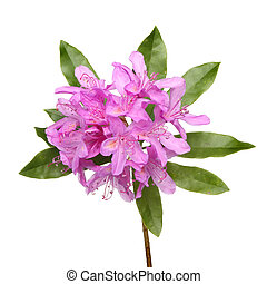 Rhododendron ponticum purple flowers and leaves isolated...