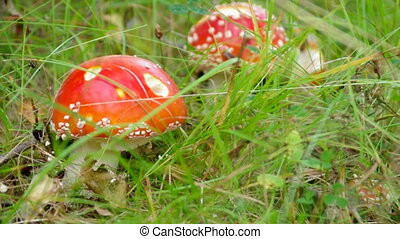 Close-upof a Amanita poisonous