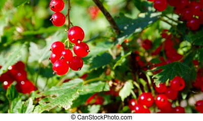 Ripe red currants hanging from bush ready for harvest
