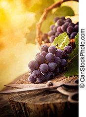 recientemente, cosechado, uvas