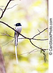 Madagascar Paradise-flycatcher - Small bird with long tail,...