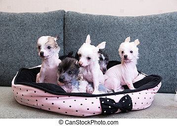chinese crested puppy dogs in front at sofa
