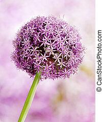 Allium, Purple garlic flowers - Allium flower head detail,...